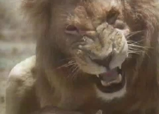 Snarling lion fucking this hot lioness