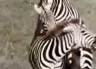 Two zebras fucking like crazy here